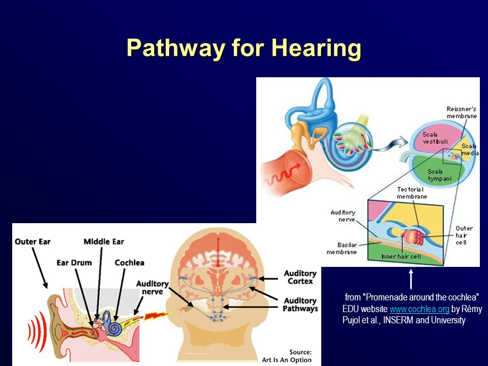 Pathway for Hearing from