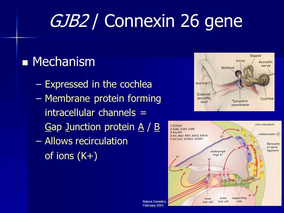 Connexin 26 / GJB2 >80 mutations identified 35 del G (formerly del 30) –Carrier freq 3.5% Caucasians 167 del T –Carrier freq 4% Ashkenazi Jewish 235 del C –Seen in Asian populations *M34T –Carrier freq 2-3% Caucasians –Hypothesized as recessive allele GJB2 Chromosome 13 Kenneson et al., Genet Med, 2002