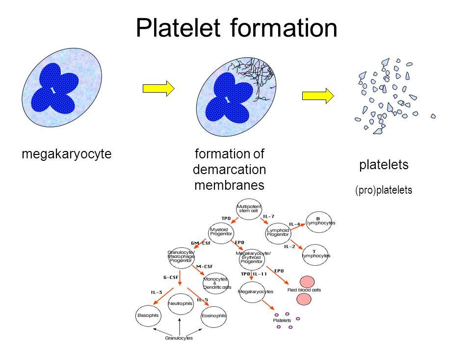 Platelet formation megakaryocyteformation of demarcation membranes platelets (pro)platelets