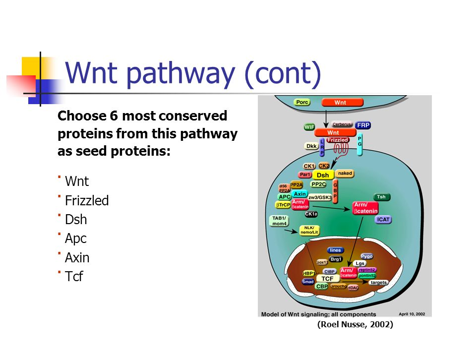 Wnt pathway (cont) Choose 6 most conserved proteins from this pathway as seed proteins: Wnt Frizzled Dsh Apc Axin Tcf (Roel Nusse, 2002)