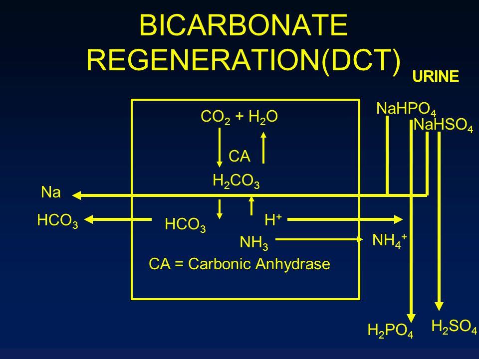 BICARBONATE REGENERATION(DCT) NaHPO 4 URINE CO 2 + H 2 O CA H 2 CO 3 HCO 3 H+H+ CA = Carbonic Anhydrase Na HCO 3 NaHSO 4 H 2 PO 4 H 2 SO 4 NH 3 NH 4 +