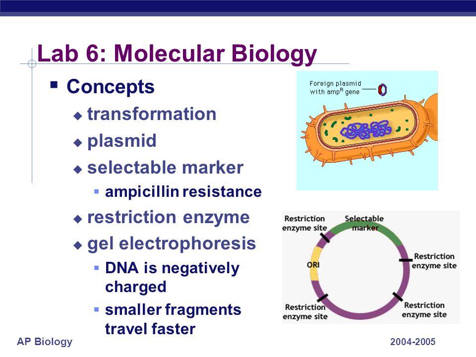 AP Biology 2004-2005 Lab 6: Molecular Biology Concepts transformation plasmid selectable marker ampicillin resistance restriction enzyme gel electroph