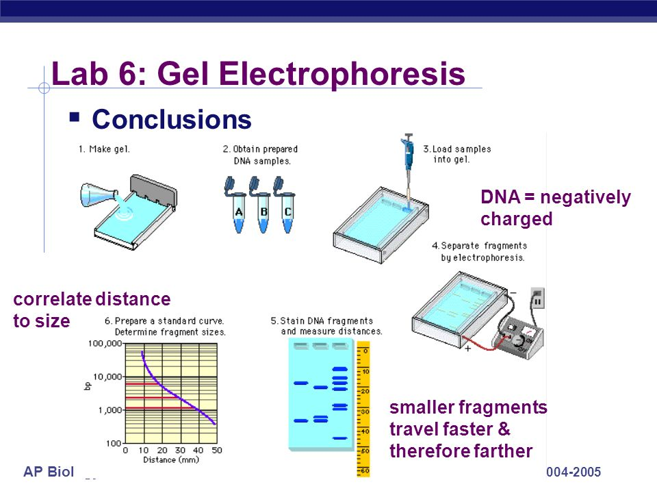AP Biology 2004-2005 Lab 6: Gel Electrophoresis Conclusions DNA = negatively charged smaller fragments travel faster & therefore farther correlate dis