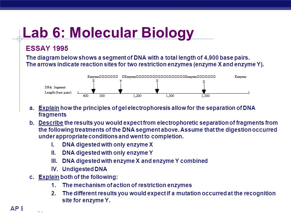 AP Biology 2004-2005 Lab 6: Molecular Biology ESSAY 1995 The diagram below shows a segment of DNA with a total length of 4,900 base pairs. The arrows
