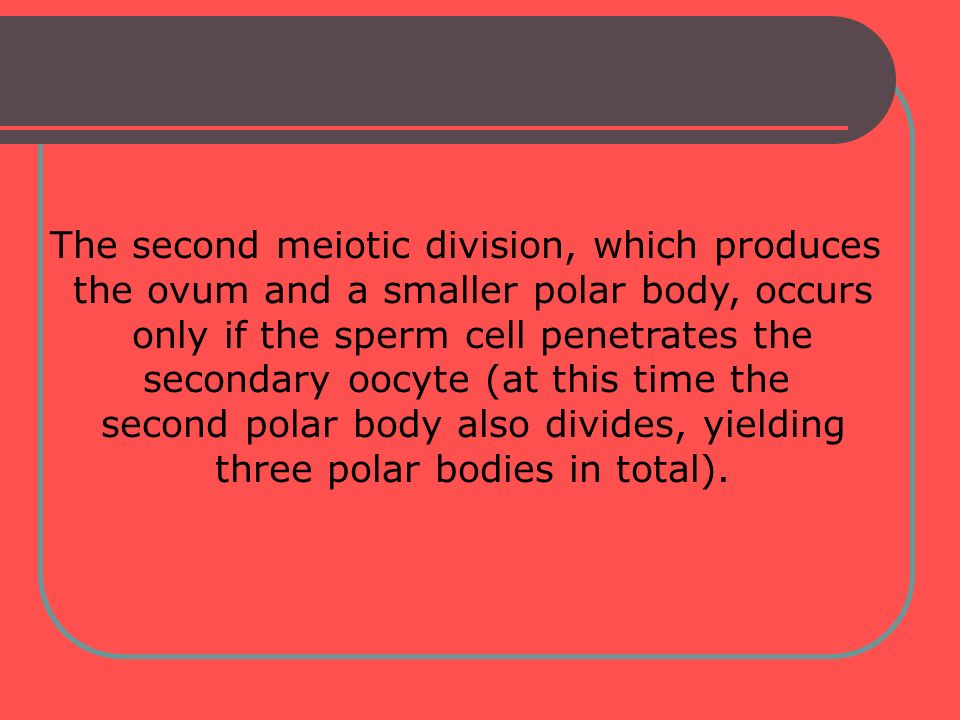 The second meiotic division, which produces the ovum and a smaller polar body, occurs only if the sperm cell penetrates the secondary oocyte (at this