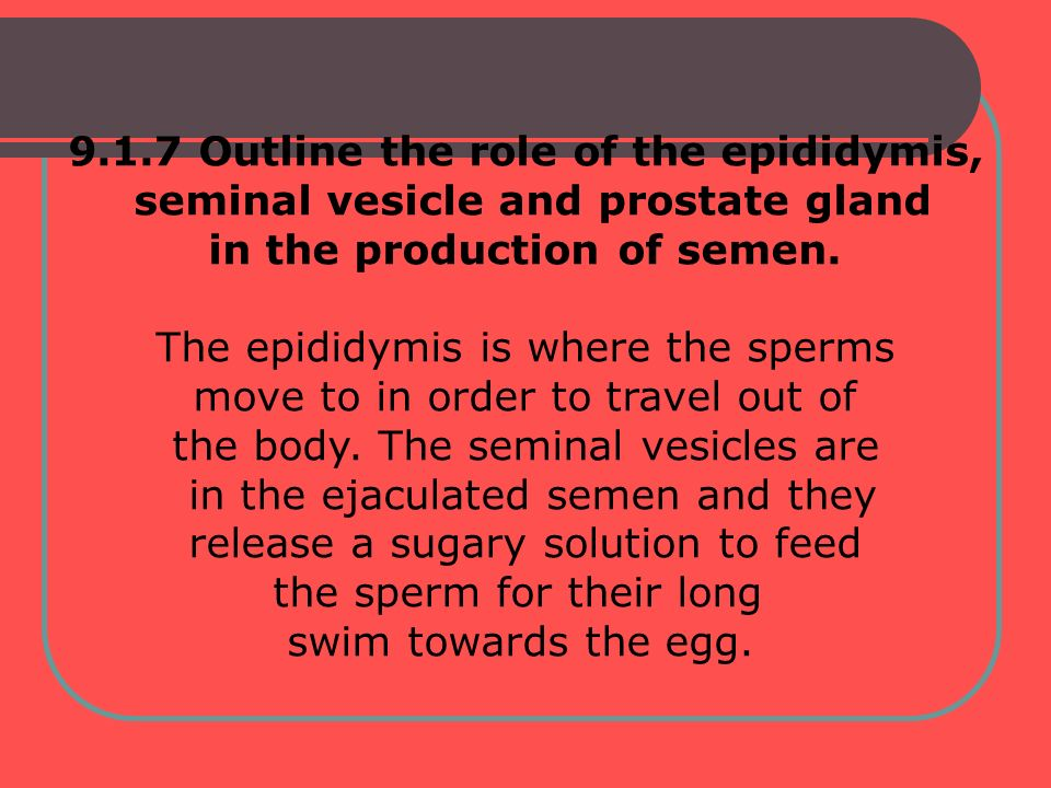 9.1.7 Outline the role of the epididymis, seminal vesicle and prostate gland in the production of semen. The epididymis is where the sperms move to in