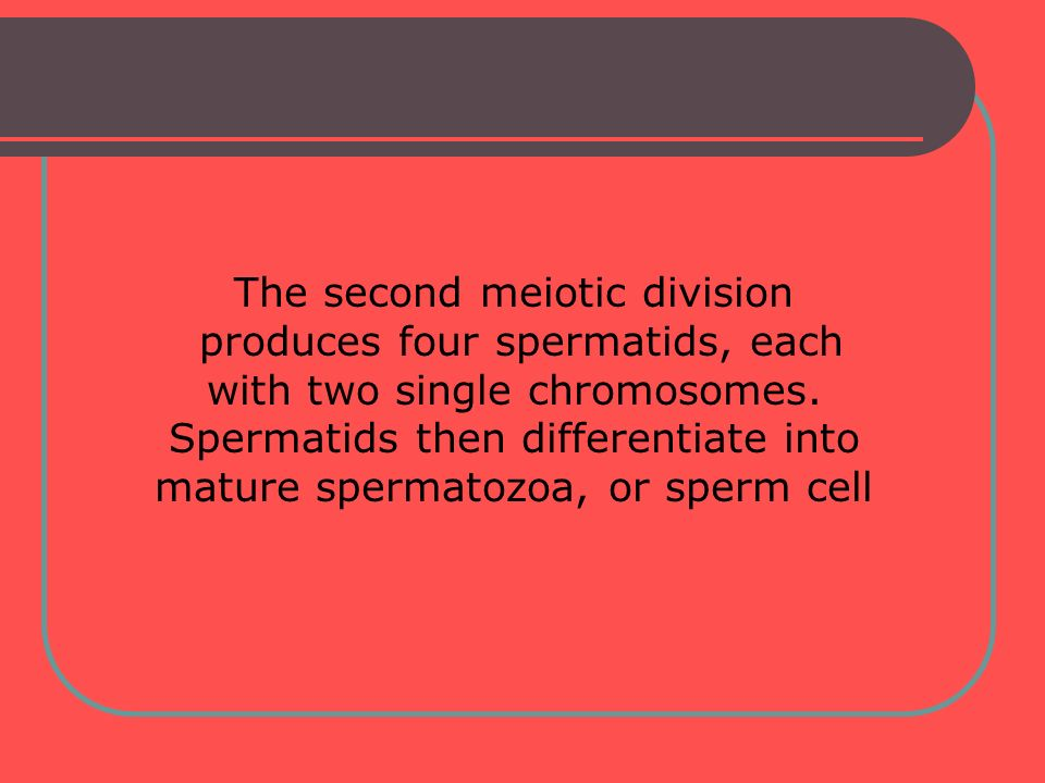 The second meiotic division produces four spermatids, each with two single chromosomes. Spermatids then differentiate into mature spermatozoa, or sper