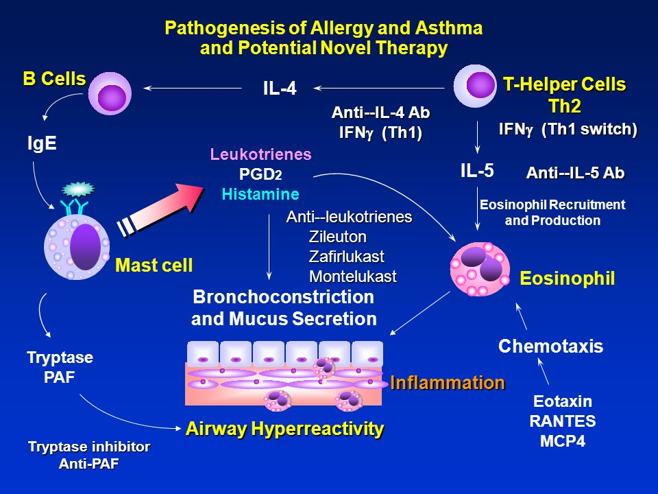 Pathogenesis of Allergy and Asthma and Potential Novel Therapy Leukotrienes PGD 2 Histamine Tryptase PAF Bronchoconstriction and Mucus Secretion Chemo