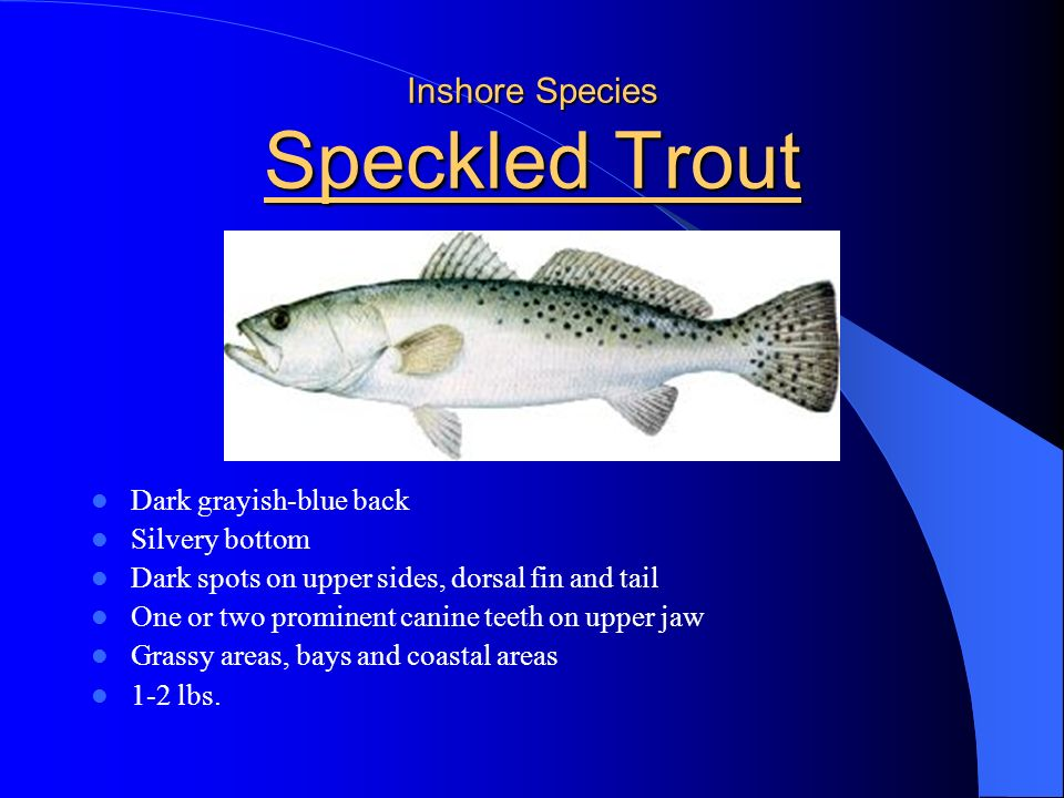 Inshore Species Red Drum Silver to bronze Black spot at upper base of tail Grayish silver fins Found along passes and channels between bars 3-4 lbs.