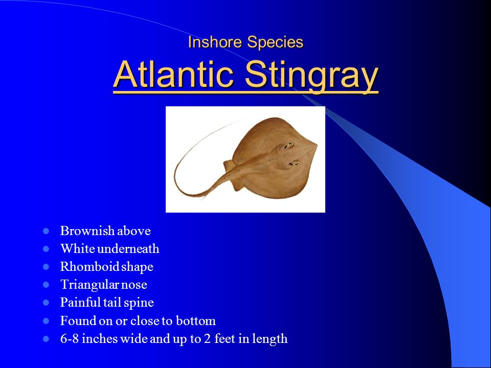Inshore Species Southern Flounder Dark olive to lighter brown Lies on side White underside Both eyes on up side Sandy and silty bottoms along shores a