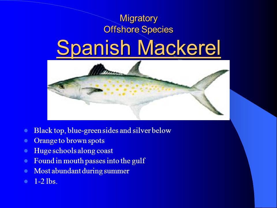 Migratory Offshore Species Cobia Dark brown to black above with white below Spike like spines on dorsal fins Dark band from snout to tail Tendency to