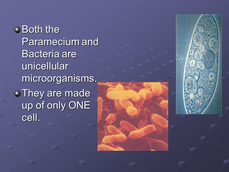 Both the Paramecium and Bacteria are unicellular microorganisms. They are made up of only ONE cell.