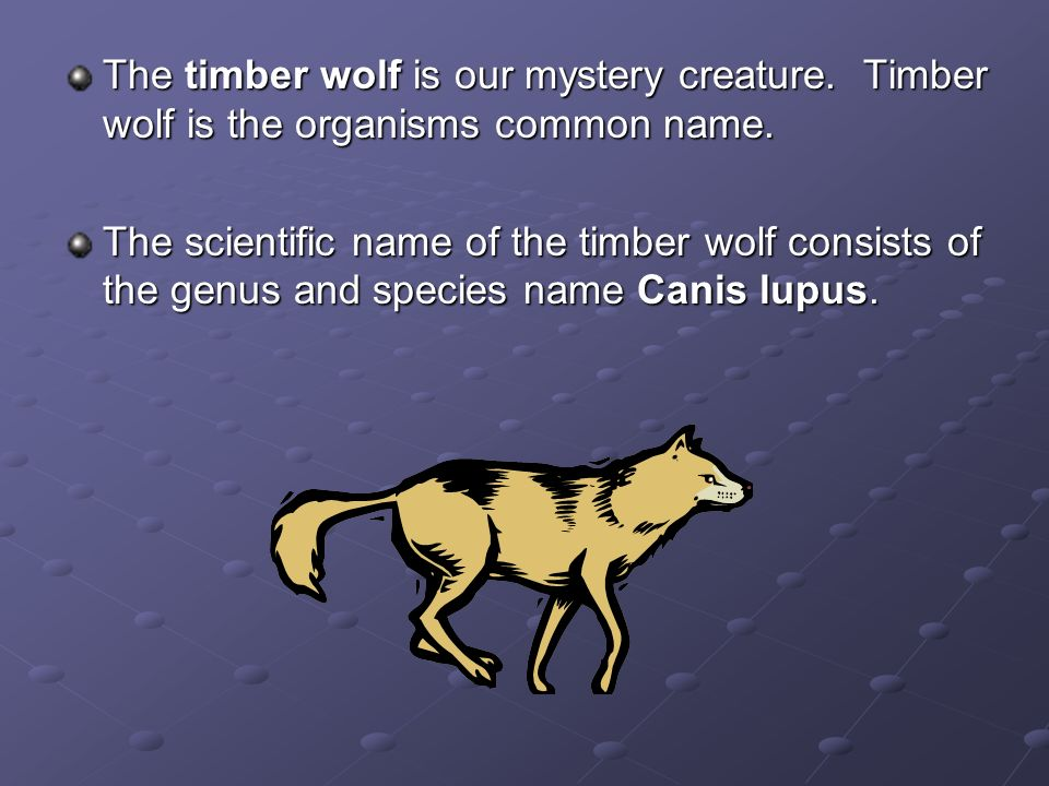 The timber wolf is our mystery creature. Timber wolf is the organisms common name. The scientific name of the timber wolf consists of the genus and sp