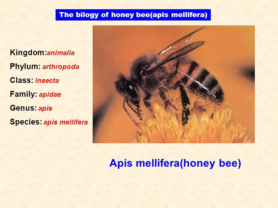Apis mellifera(honey bee) The bilogy of honey bee(apis mellifera) Kingdom: animalia Phylum: arthropoda Class: insecta Family: apidae Genus: apis Speci