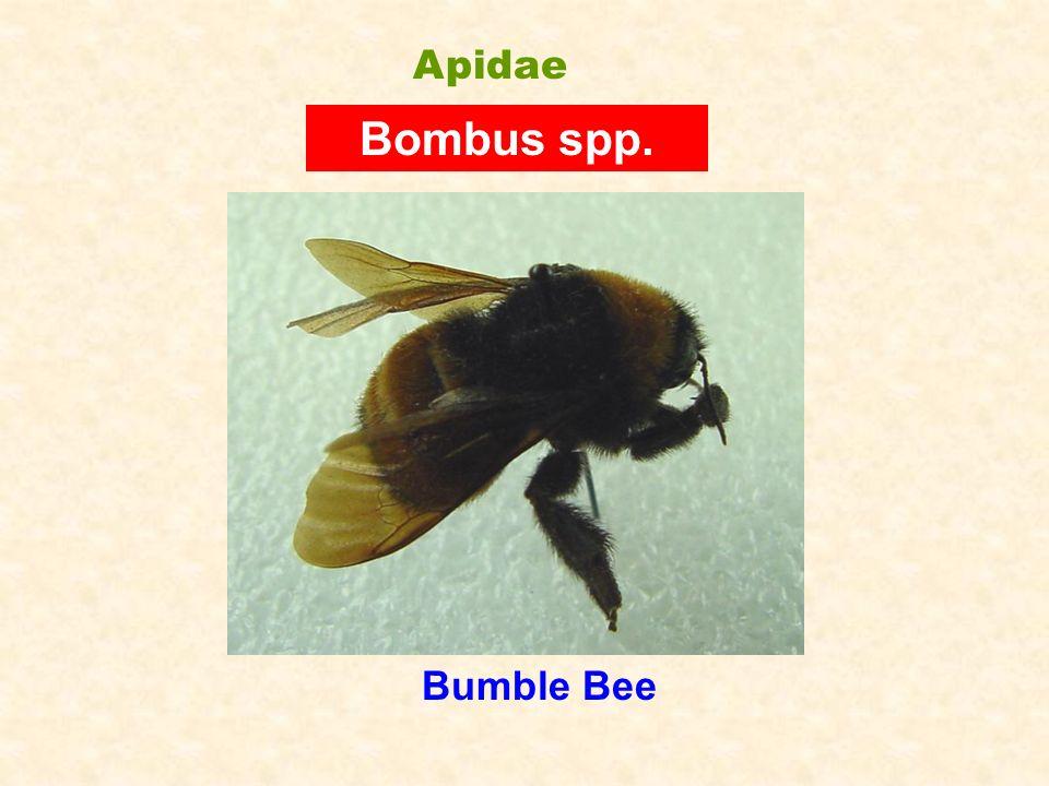 Bumble Bee Bombus spp. Apidae