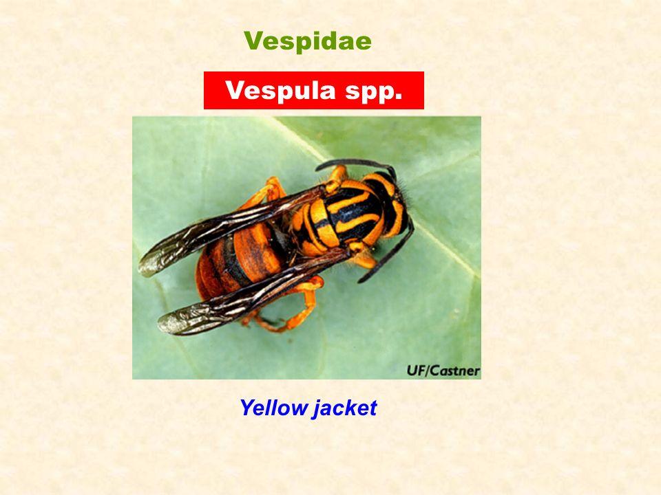 Vespula spp. Yellow jacket Vespidae