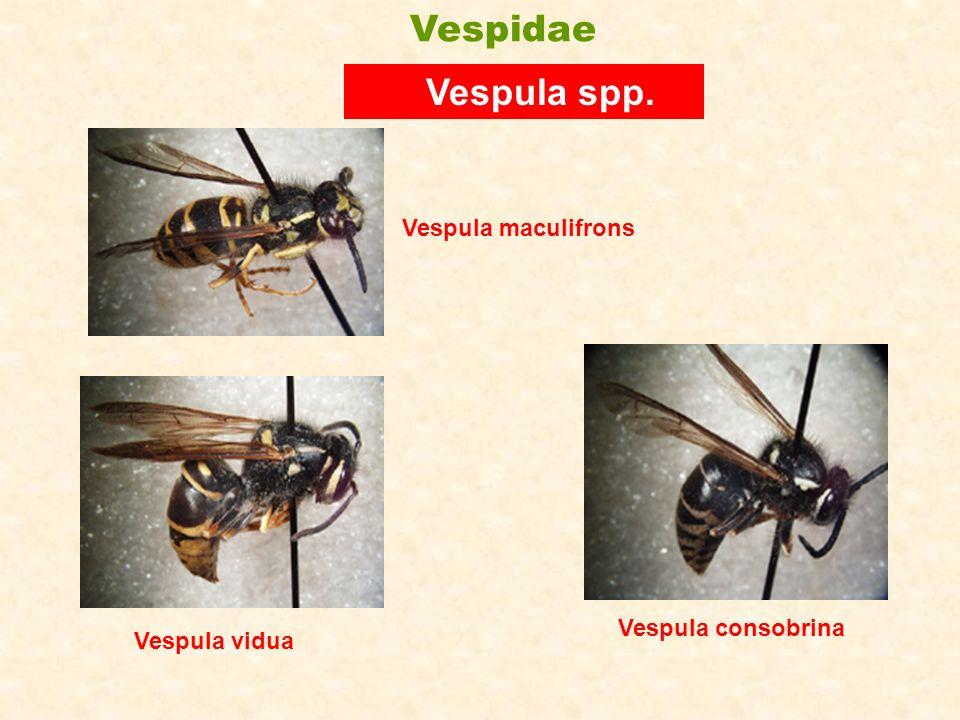 Vespula vidua Vespula spp. Vespula maculifrons Vespula consobrina Vespidae