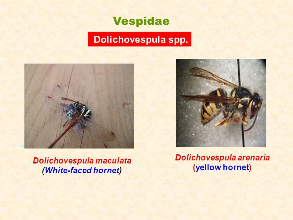 Dolichovespula arenaria (yellow hornet) Dolichovespula spp. Dolichovespula maculata (White-faced hornet) Vespidae