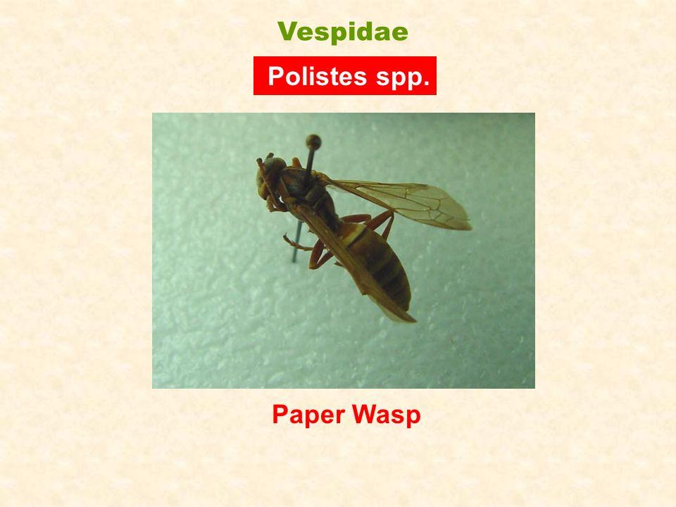 Paper Wasp Polistes spp. Vespidae