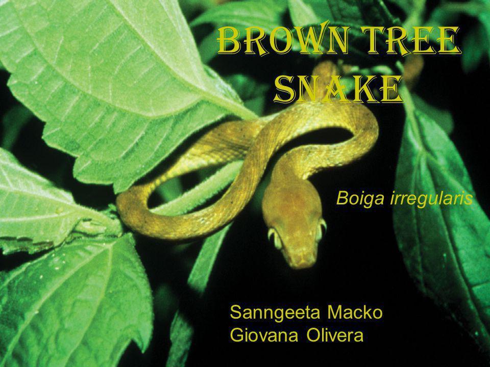 Brown Tree Snake Sanngeeta Macko Giovana Olivera Boiga irregularis