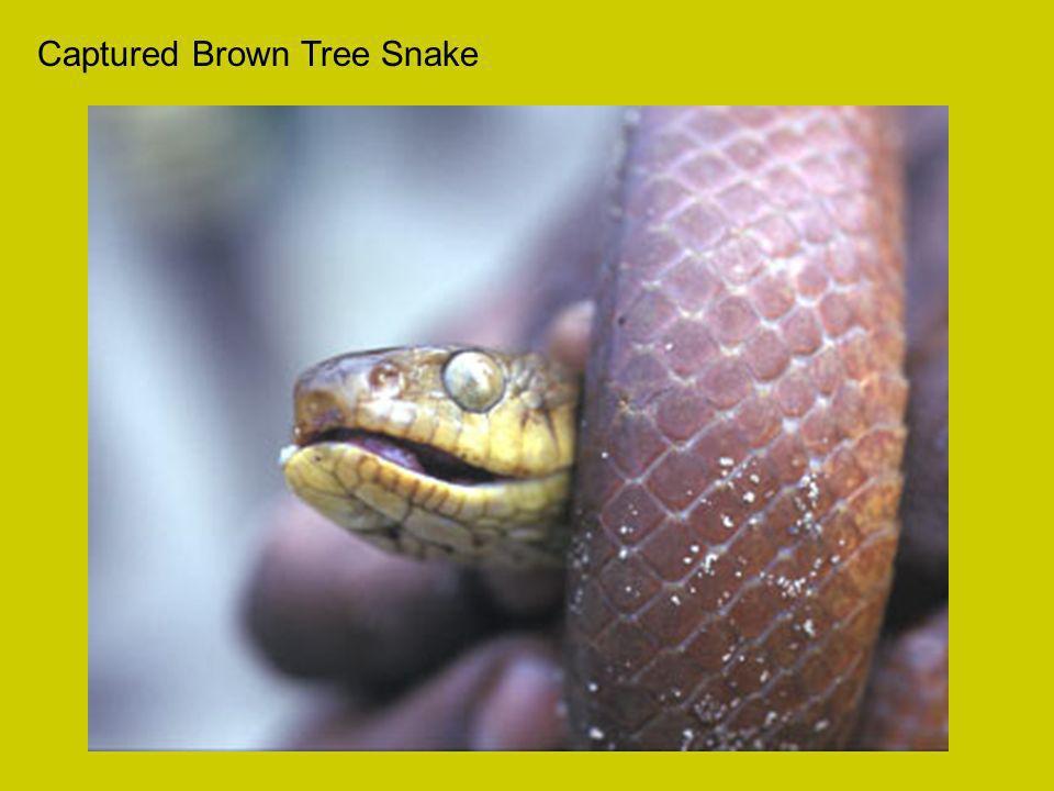 Captured Brown Tree Snake