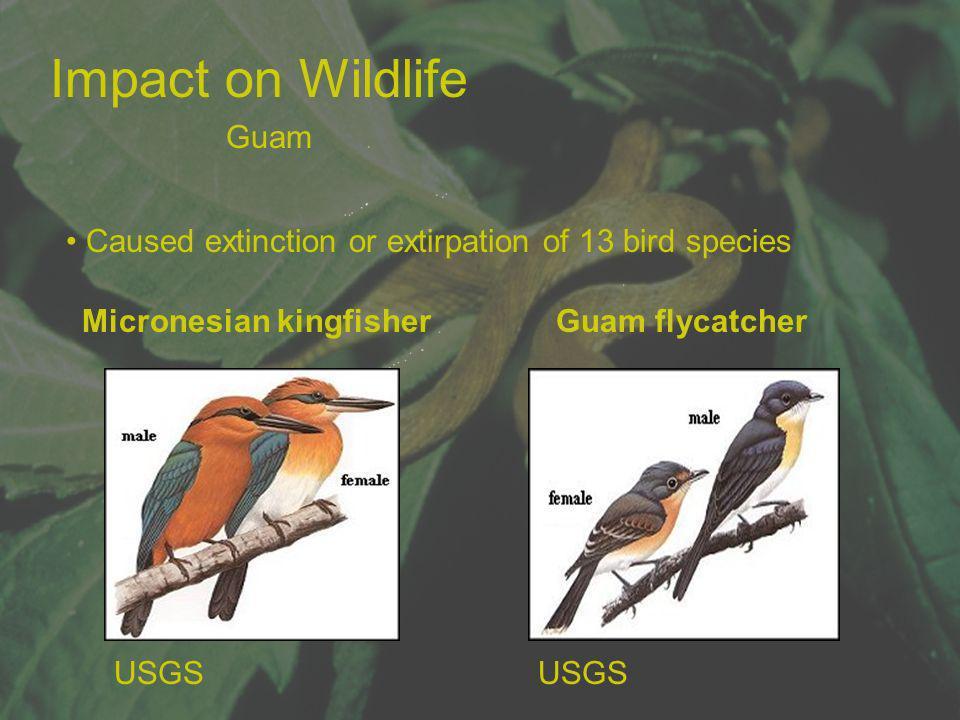 Impact on Wildlife Caused extinction or extirpation of 13 bird species Micronesian kingfisher Guam flycatcher USGS Guam