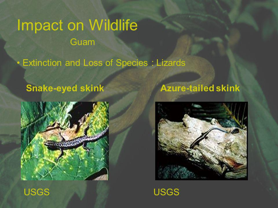 Impact on Wildlife Snake-eyed skink Azure-tailed skink Extinction and Loss of Species : Lizards USGS Guam