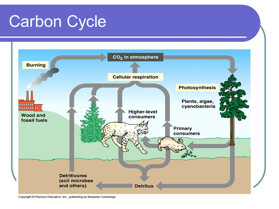 O.03 carbon dioxide in atmosphere Plants take in CO 2 and release O 2 in PHOTOSYNTHEIS Animals take in O 2 and release CO 2 in CELLULAR RESPIRATION Decay also release CO 2 into the atmosphere
