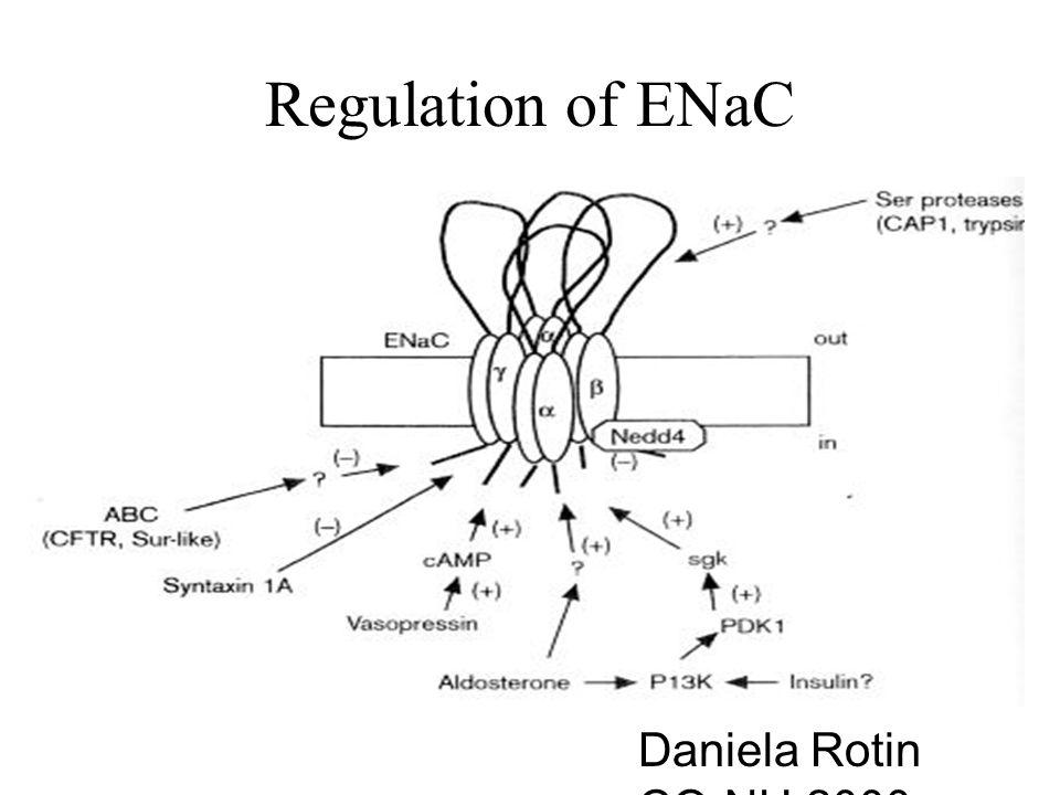 Regulation of ENaC Daniela Rotin CO-NH,2000