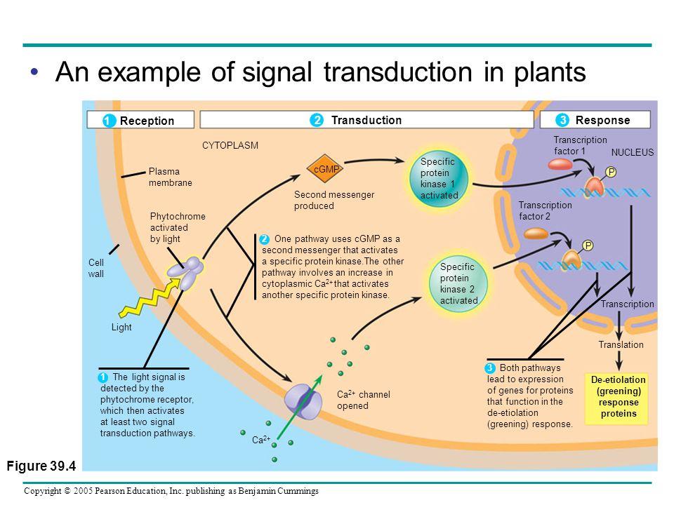 Copyright © 2005 Pearson Education, Inc. publishing as Benjamin Cummings Figure 39.4 1 Reception 2 Transduction 3 Response CYTOPLASM Plasma membrane P
