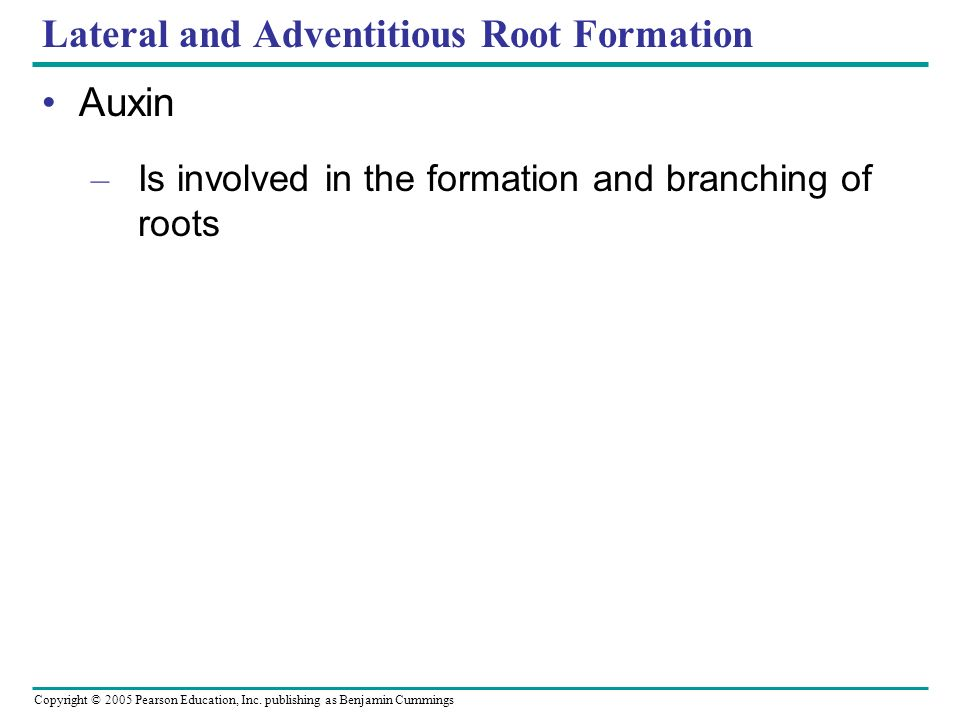 Copyright © 2005 Pearson Education, Inc. publishing as Benjamin Cummings Lateral and Adventitious Root Formation Auxin – Is involved in the formation