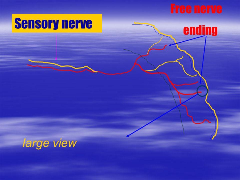 Sensory nerve Free nerve ending large view