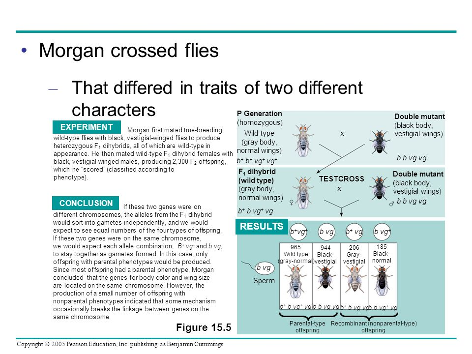 Copyright © 2005 Pearson Education, Inc. publishing as Benjamin Cummings Morgan crossed flies – That differed in traits of two different characters Do