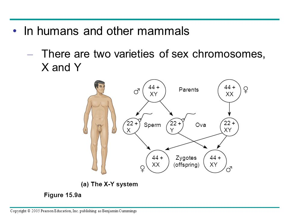 Copyright © 2005 Pearson Education, Inc. publishing as Benjamin Cummings In humans and other mammals – There are two varieties of sex chromosomes, X a