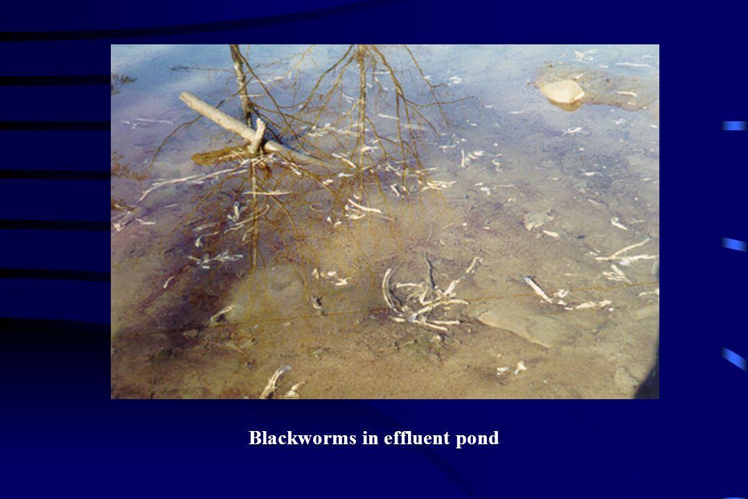 Blackworms in effluent pond