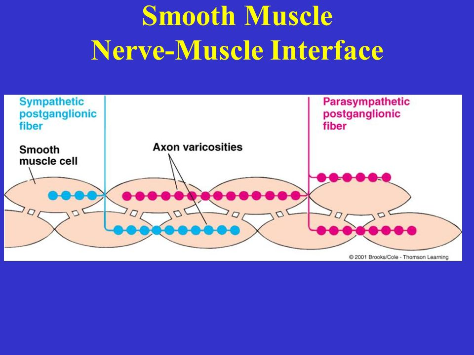 Smooth Muscle Nerve-Muscle Interface