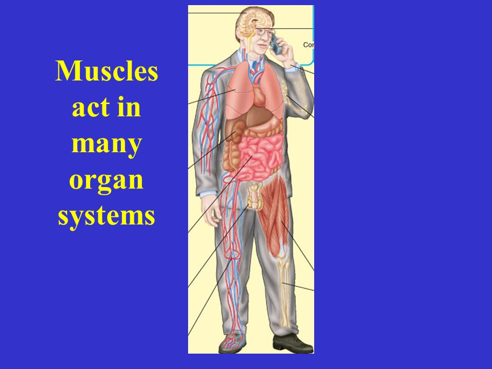 Muscles act in many organ systems