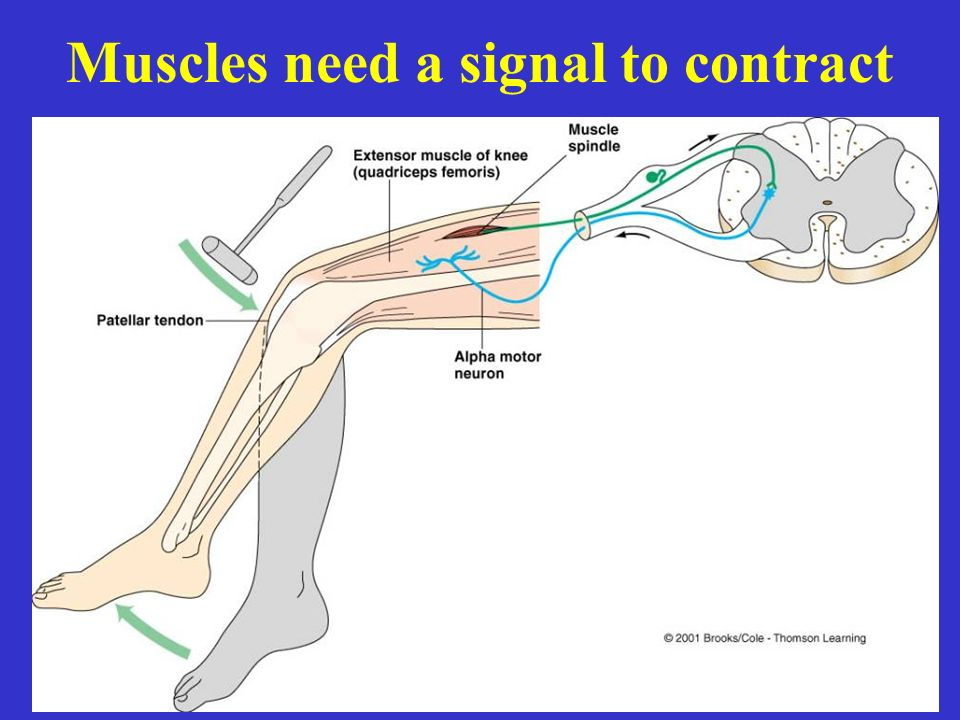 Muscles need a signal to contract