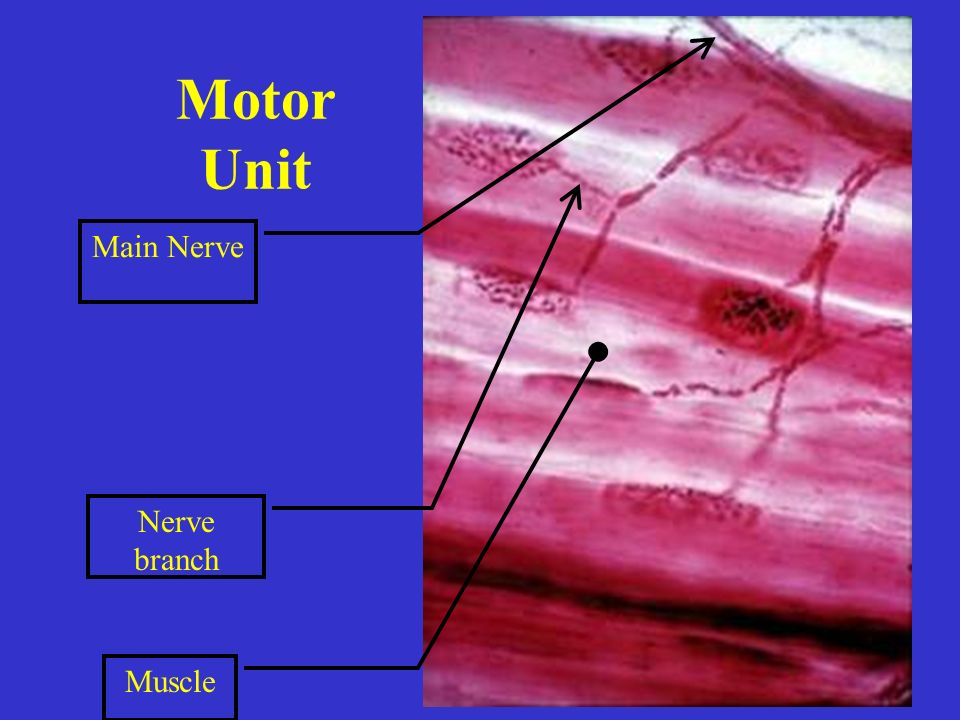 Motor Unit Nerve branch Muscle Main Nerve
