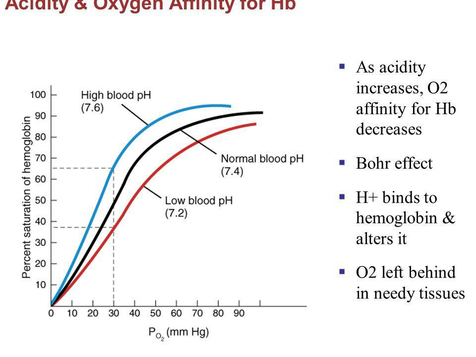 Acidity & Oxygen Affinity for Hb As acidity increases, O2 affinity for Hb decreases Bohr effect H+ binds to hemoglobin & alters it O2 left behind in n