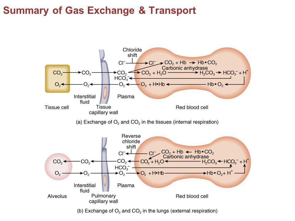 Summary of Gas Exchange & Transport