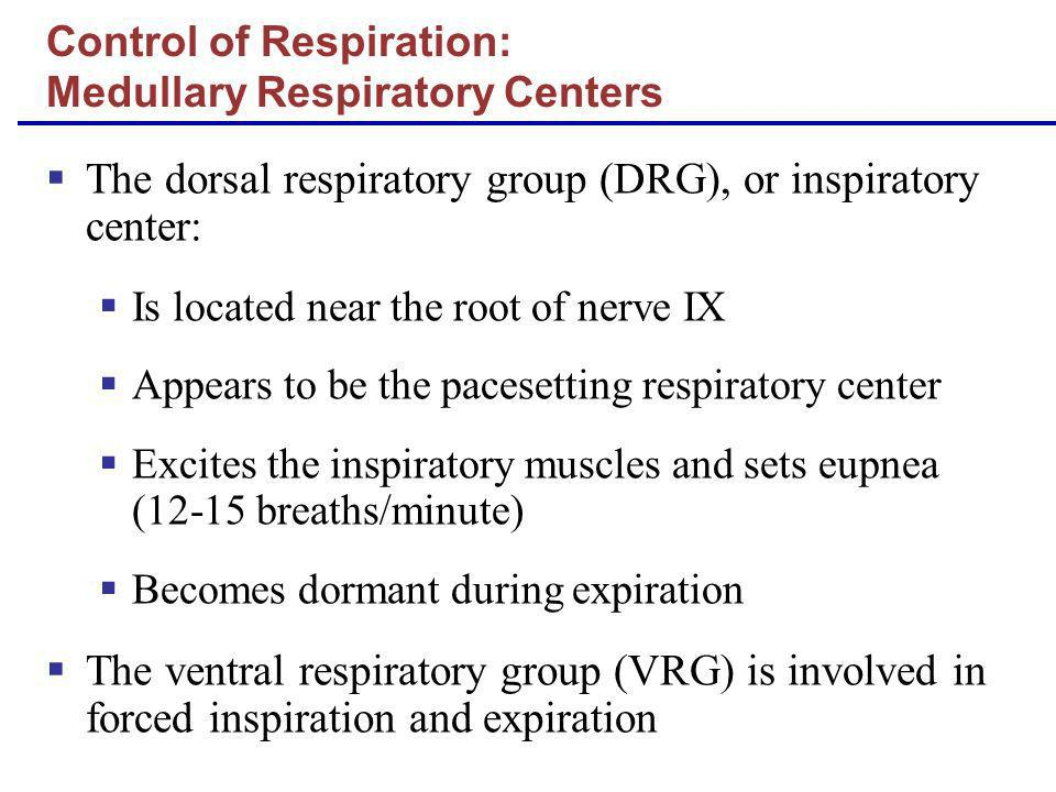The dorsal respiratory group (DRG), or inspiratory center: Is located near the root of nerve IX Appears to be the pacesetting respiratory center Excit