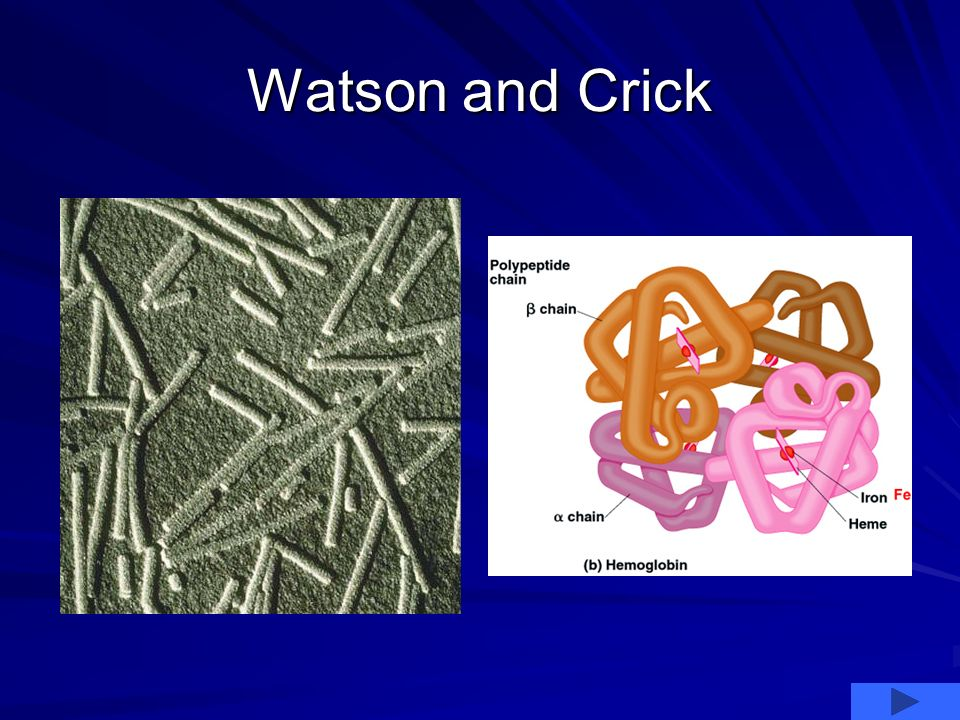 Watson and Crick temporarily gave up on their work. Watson studied tobacco mosaic virus and Crick hemoglobin. Click the red arrow below to see picture