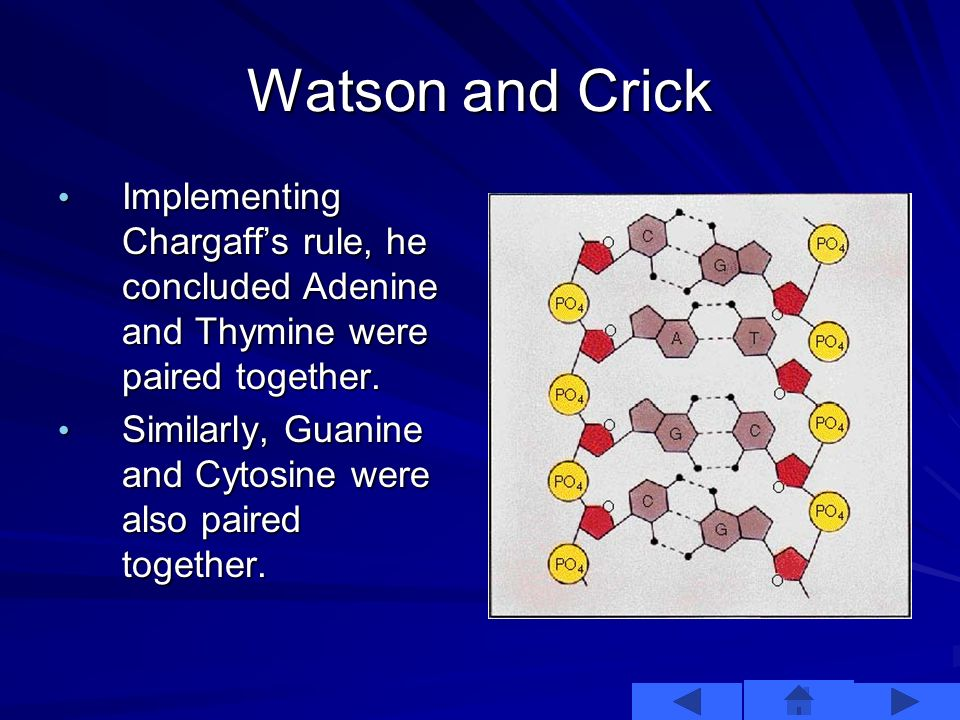 Watson and Crick This information helped, but the two were still unsure how the nitrogenous bases paired up with each other. Then, Watson remembered C