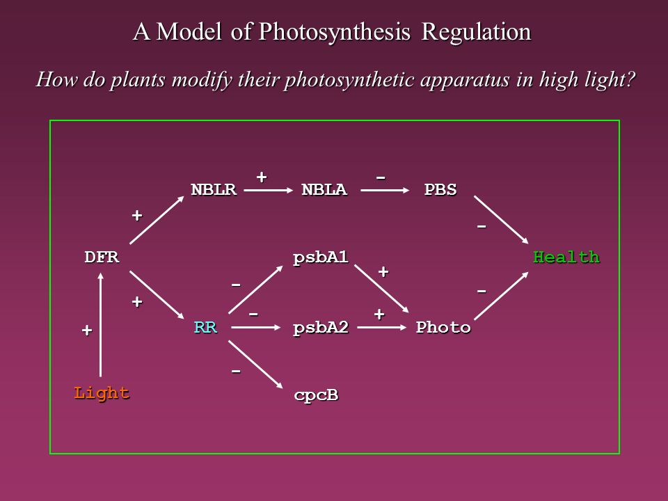How do plants modify their photosynthetic apparatus in high light? A Model of Photosynthesis Regulation DFR NBLANBLR RRPhoto PBS Health - + + + - - -