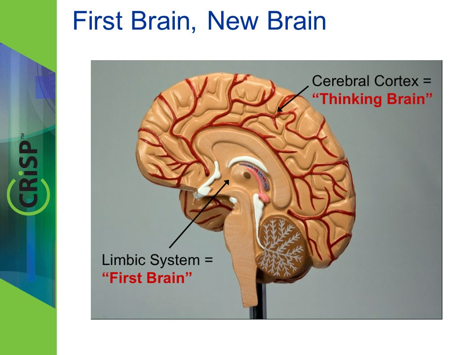 First Brain: Limbic System – Instinctual, primitive – Emotional – Hunger, thirst, danger, sex, parenting – Common to animals New Brain: Cerebral Cortex – Intellectual, advanced – Rational – Thought, memory, language, creativity, planning, decision-making – Uniquely human