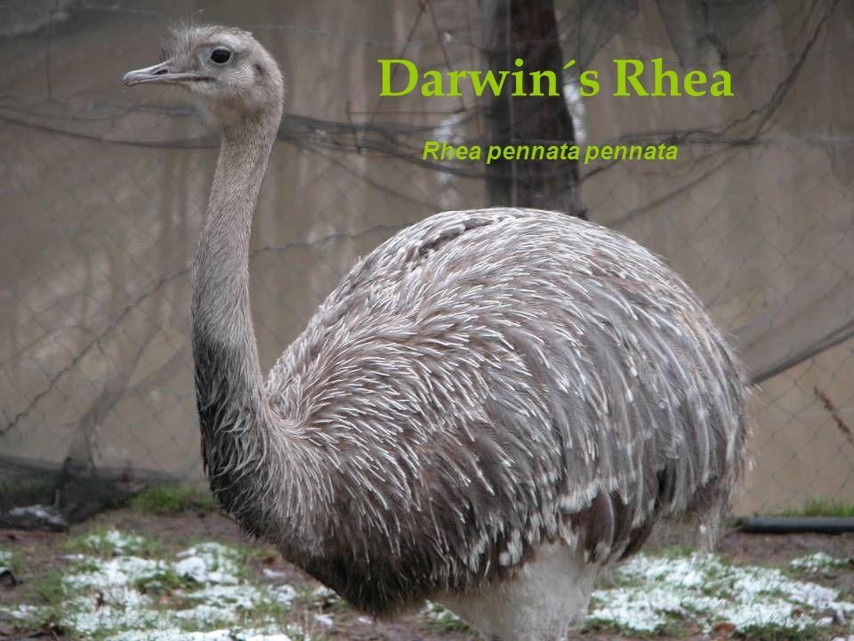 Darwin´s Rhea Rhea pennata pennata