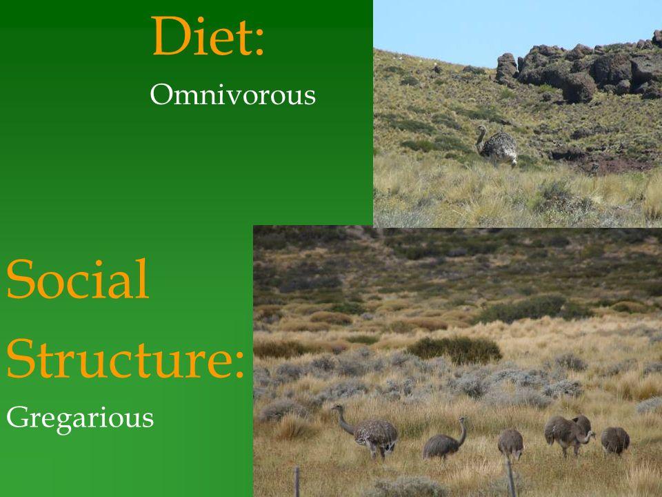 Diet: Omnivorous Social Structure: Gregarious