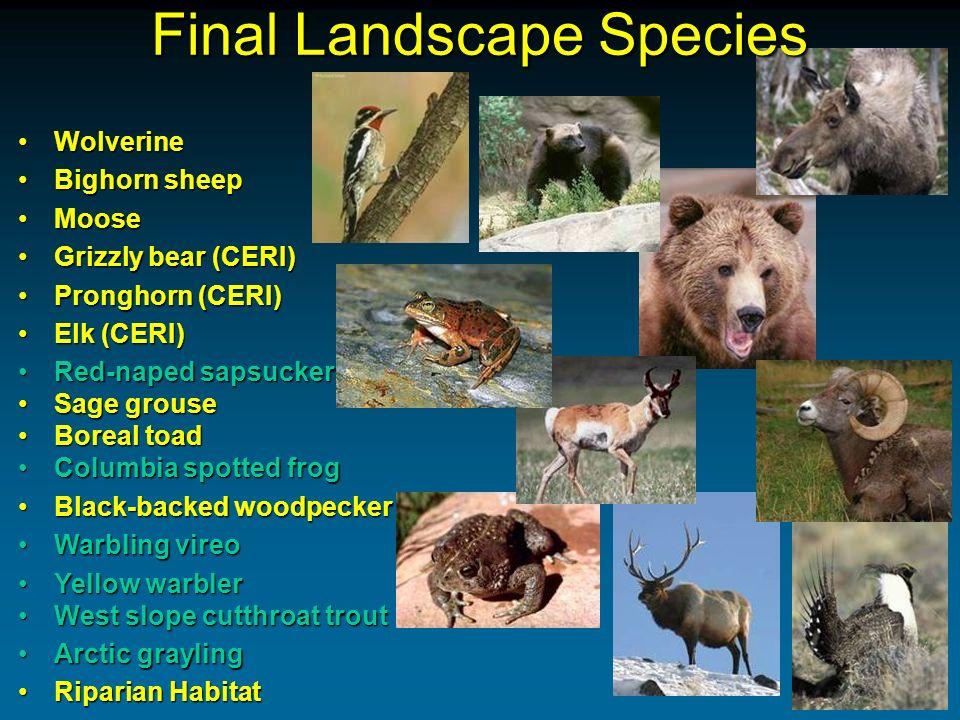 Final Landscape Species WolverineWolverine Bighorn sheepBighorn sheep MooseMoose Grizzly bear (CERI)Grizzly bear (CERI) Pronghorn (CERI)Pronghorn (CER