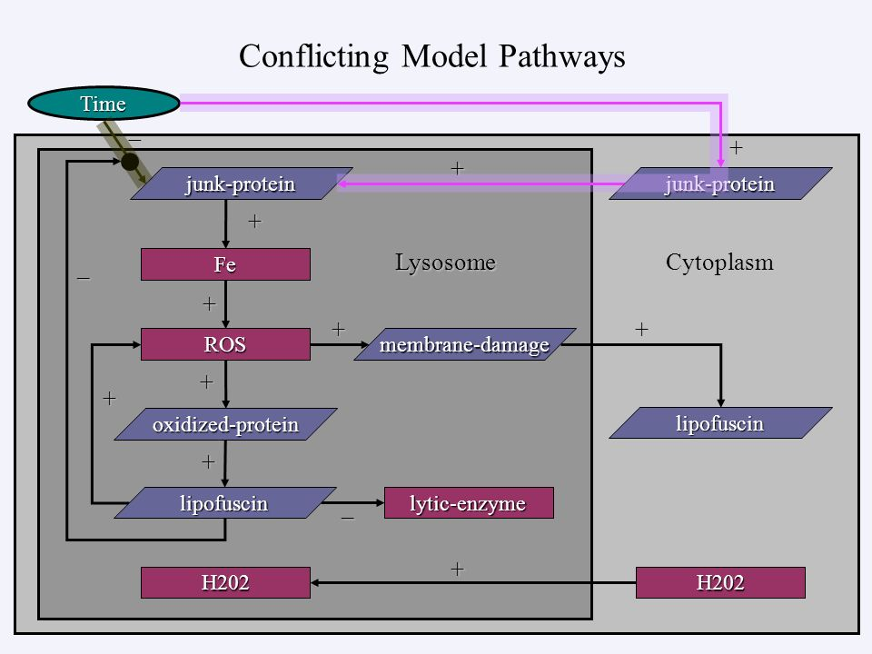 Conflicting Model Pathways – + + – + ++ + + Time – LysosomeCytoplasm Fe ROS lytic-enzyme membrane-damage lipofuscin H202 lipofuscin H202 oxidized-prot